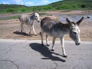 ezelopvang Aruba