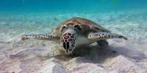Klein Curaçao turtle